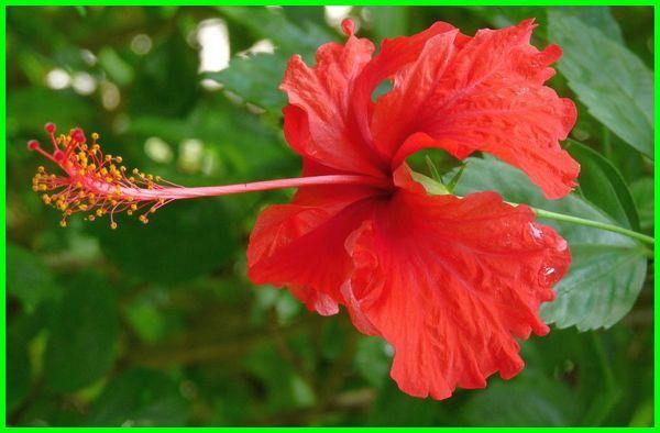 bunga nasional malaysia, bunga nasional negara malaysia, bunga nasional indonesia dan malaysia, bunga nasional malaysia adalah bunga kembang sepatu yang dinamakan, bunga nasional yang ada di malaysia, 3 bunga nasional malaysia