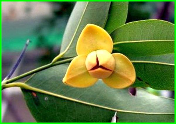 bunga nasional negara kamboja,bunga nasional dari negara kamboja, bunga nasional kamboja, bunga nasional kamboja adalah, bunga nasional kamboja brainly, kamboja bunga nasional laos
