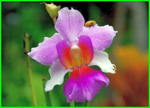 bunga nasional singapura, bunga nasional dari singapura, bunga nasional indonesia dan singapura, bunga nasional singapura adalah, bunga nasional singapura brainly