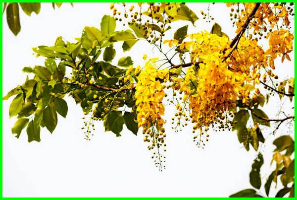 bunga nasional thailand, bunga nasional di thailand, bunga nasional thailand adalah, nama bunga nasional thailand, bunga nasional yang ada di thailand, nama bunga nasional thailand