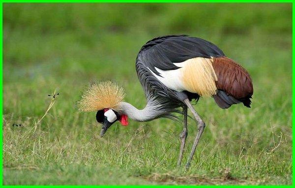 burung asli afrika berjambul kuning, burung asal afrika, burung asli afrika, burung di afrika, burung dari afrika, jenis burung dari afrika, jenis burung di afrika, nama burung di afrika