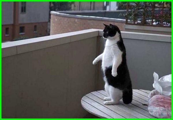 cara melatih kucing berdiri, kucing lucu berdiri