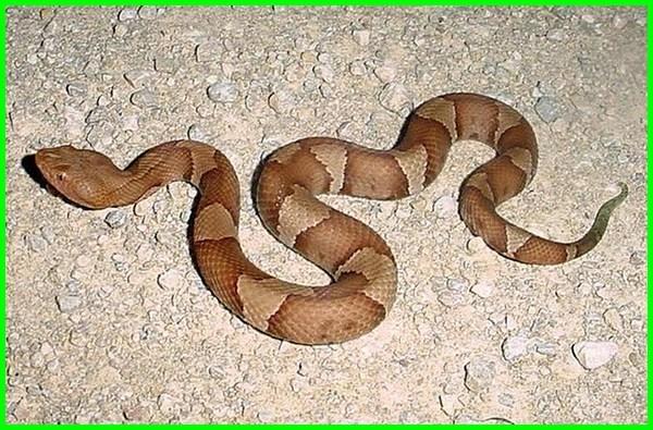 Ular Copperheads, cara reproduksi hewan secara aseksual, jelaskan reproduksi hewan secara aseksual, hewan yang bereproduksi aseksual, reproduksi hewan seksual dan aseksual, reproduksi aseksual hewan fragmentasi, reproduksi aseksual hewan invertebrata, contoh hewan perkembangbiakan aseksual, contoh hewan reproduksi aseksual, reproduksi hewan secara aseksual