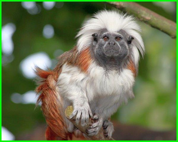 hewan khas brazil, persebaran hewan di brazil, hewan yang berasal dari brazil, hewan endemik brazil, hewan khas negara brazil