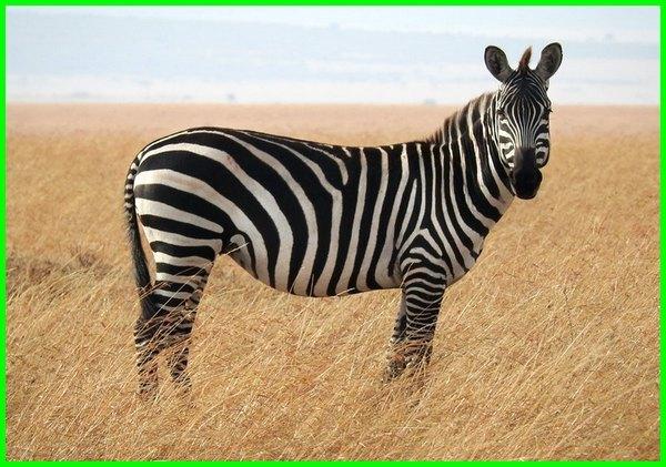 hewan ciri khas afrika, hewan khas di afrika, fauna khas di afrika, binatang khas dari afrika, hewan khas dari benua afrika, hewan hewan khas benua afrika