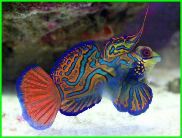 ikan cantik air laut, ikan paling cantik di laut, gambar ikan cantik di laut, foto ikan cantik di laut, ikan hias laut cantik, ikan laut paling indah, ikan laut yang indah, ikan laut yg indah, ikan hias air laut yang cantik