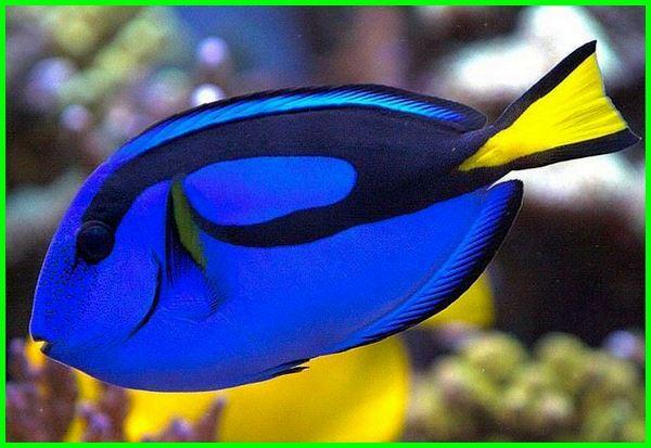 ikan cantik air laut, ikan cantik di laut, gambar ikan cantik laut, jenis ikan laut cantik, ikan hias cantik air laut, gambar ikan hias laut cantik, gambar ikan cantik di laut, foto ikan cantik di laut, ikan paling cantik di laut