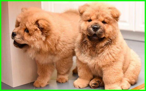 anjing termahal dunia, anjing termahal di bumi, jenis anjing ras termahal, jenis anjing ras termahal di dunia, anjing termahal dan terlucu, jenis anjing yang termahal di dunia