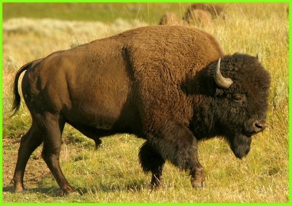 hewan khas benua amerika, hewan dari amerika, jenis hewan di amerika utara, hewan yang dari amerika, hewan yang ada di amerika, hewan nasional amerika, hewan khas negara amerika serikat, hewan bison amerika