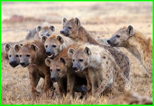 hewan hyenas, hyena hewan terpintar di dunia, hyena hewan terpintar, sifat hewan hyena, fakta hewan hyena, jenis hewan hyena, hewan buas hyena, hyena adalah hewan paling pintar di dunia, hyena hewan licik, penjelasan hewan hyena, hyena termasuk hewan pemakan