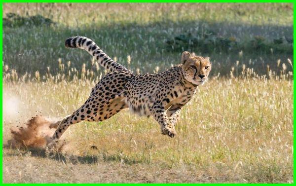 apa cheetah itu, cheetah apa artinya, apa makanan cheetah, apa indonesianya cheetah, apakah cheetah berbahaya, hewan apakah cheetah, berapa kecepatan cheetah, dimana cheetah tinggal, dimana habitat cheetah