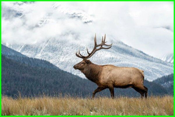hewan khas amerika utara, hewan endemik amerika utara, hewan dari amerika utara, hewan asli amerika utara, persebaran hewan amerika utara, jenis hewan amerika utara, hewan neartik amerika utara, hewan khas benua amerika utara, hewan yang hidup di amerika utara