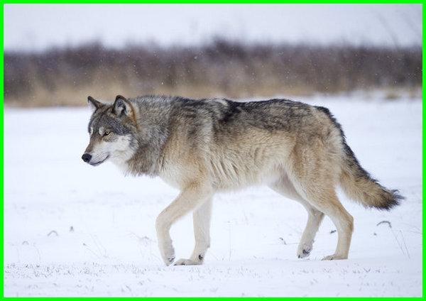 hewan endemik amerika utara, jenis hewan amerika utara
