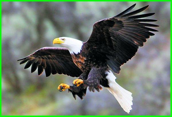 hewan simbol amerika, nama hewan amerika, nama hewan dari amerika, hewan khas amerika utara, hewan amerika utara, hewan khas benua amerika utara, jenis hewan amerika utara, hewan neartik amerika utara, persebaran hewan amerika utara