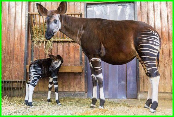 fauna khas afrika, binatang khas afrika, apa hewan khas afrika, hewan ciri khas afrika, hewan khas di afrika, fauna khas di afrika, hewan khas dari benua afrika, hewan hewan khas benua afrika