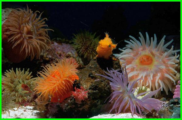 hewan laut yang cantik, hewan laut yang indah, Anemon, anemone laut