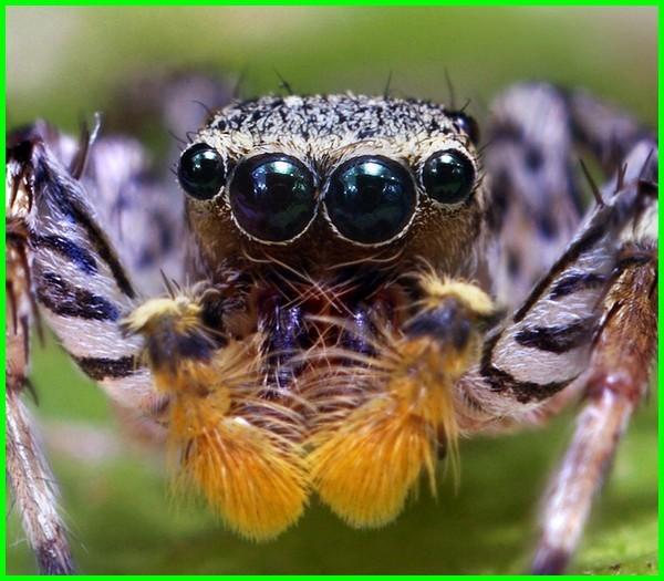 hewan yang punya mata delapan sampai dua belas
