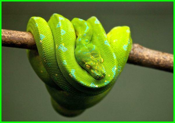 ular berbelit di pohon, ular di pohon, ular tidur di pohon