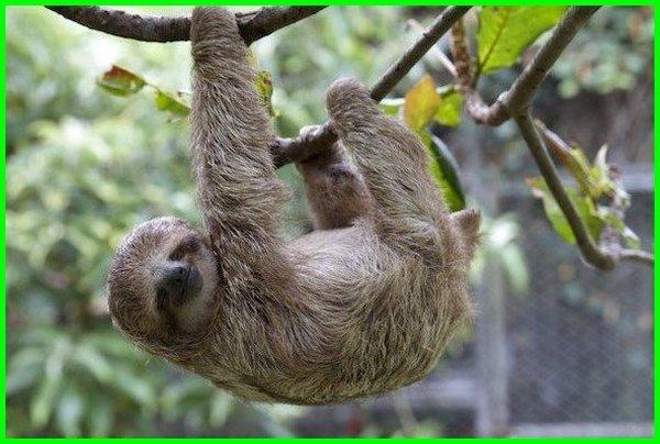 hewannya suka bergelantungan, hewan yang di pohon, hewan pohon, hewan yang hidup di atas pohon, hewan yang sarangnya di atas pohon, hewan apa yang sarangnya di atas pohon, hewan yang bersarang di pohon