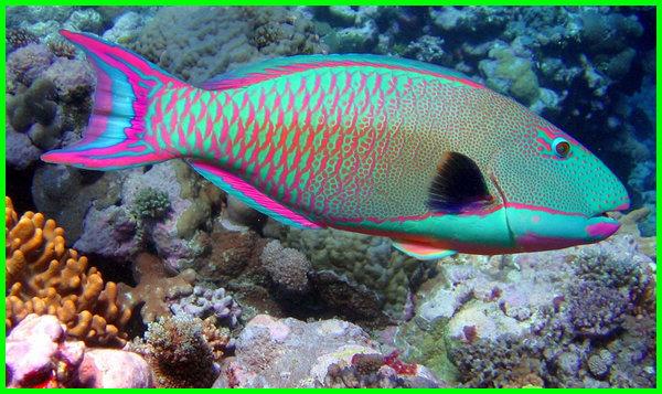 ikan cantik air laut, ikan cantik di laut, ikan cantik laut, ikan aneh cantik, gambar ikan cantik di dunia