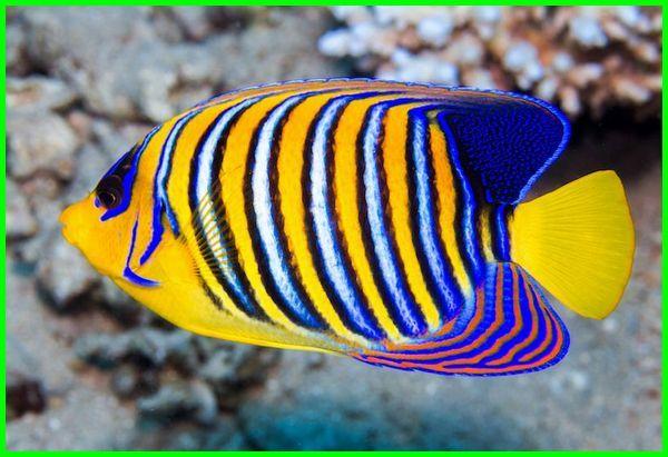 ikan angelfish air laut cantik indah, ikan hias air laut cantik, ikan hias air laut yang cantik, ikan hias laut cantik, ikan laut paling cantik, ikan laut yang cantik, ikan laut yg cantik, gambar ikan laut yang cantik