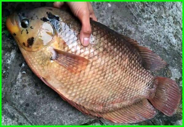 ikan konsumsi gurame, ikan konsumsi dan gambarnya, ikan konsumsi beserta gambar, jenis ikan konsumsi yang hidup, ikan konsumsi indonesia, ikan konsumsi di indonesia, jenis ikan konsumsi yang dibudidayakan, ikan konsumsi yang mudah dipelihara di kolam, ikan konsumsi paling laris