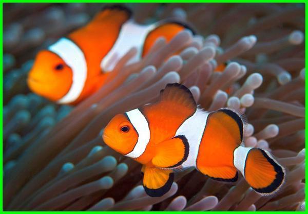 ikan badut, ikan laut yang cantik, gambar ikan laut cantik, ikan laut paling cantik, ikan laut yg cantik, jenis ikan laut cantik, ikan hias air laut cantik, gambar ikan hias laut cantik, gambar ikan laut yang cantik, ikan cantik air laut