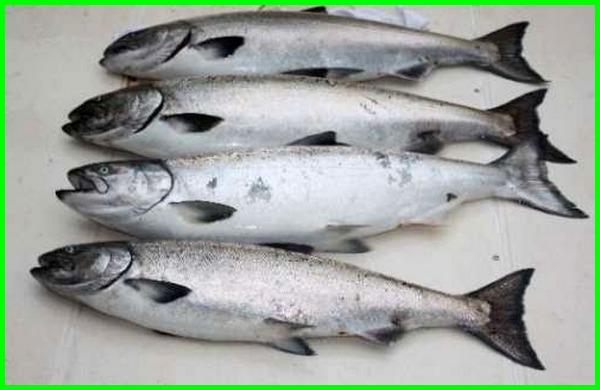 ikan yang laris di pasaran, ikan paling laris di pasaran, ikan yang laris, ikan hias paling laris 2019-2020-2021, ikan yg paling laris di pasaran, ikan laut yang laris di pasaran