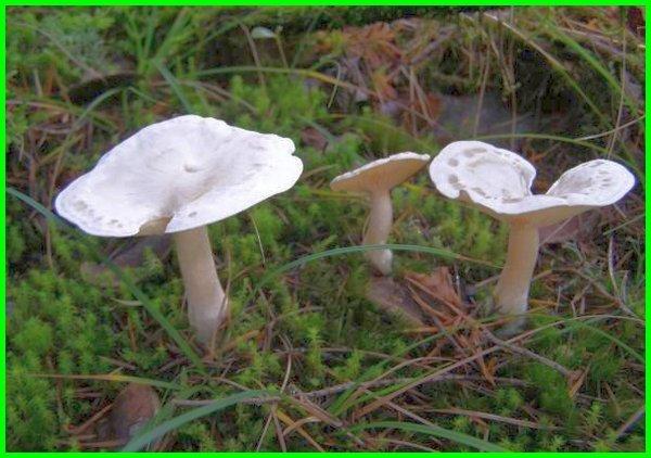 jamur putih beracun, jamur paling beracun di dunia, jamur paling beracun di indonesia, jamur tanah beracun, jamur beracun warna putih, jamur beracun wikipedia, jamur yang beracun, jamur yang beracun dan mematikan, jamur yang beracun ditunjukkan oleh nomor, jamur yang beracun bagi manusia