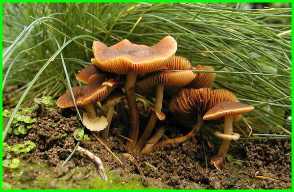jamur beracun adalah, jamur beracun atau tidak, jamur yang menghasilkan racun antara lain, jamur yang menyebabkan racun aflatoksin, jamur yang dapat menghasilkan racun adalah, jamur beracun
