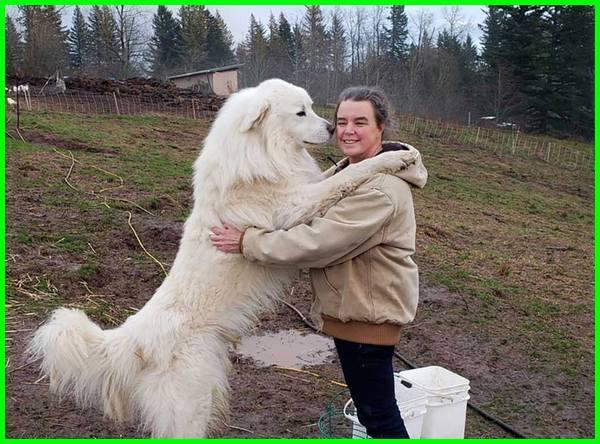anjing tertinggi adalah, jenis anjing tertinggi, ras anjing tertinggi, nama anjing tertinggi di dunia, anjing tertinggi di dunia