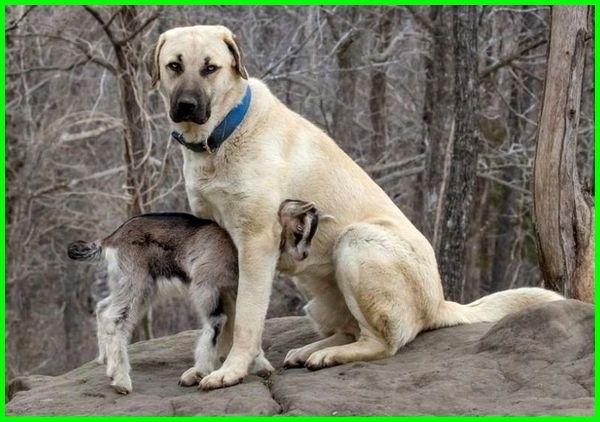 anjing besar dan tinggi, tinggi dari anjing, jenis anjing tinggi, anjing tertinggi, anjing yang tinggi