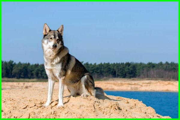 anjing iq tertinggi, jenis anjing tertinggi, ras anjing tertinggi, harga anjing tertinggi
