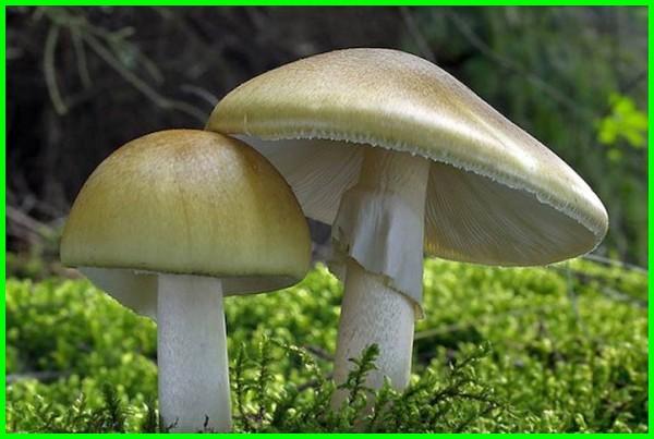 jenis jamur beracun beserta ciri cirinya, jenis jamur beracun dan nama ilmiahnya, jenis jamur yang menghasilkan racun, macam macam jenis jamur racun, jenis jenis jamur racun