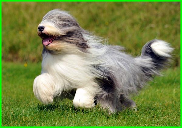 anjing berbulu tebal lucu, anjing lucu bulu tebal