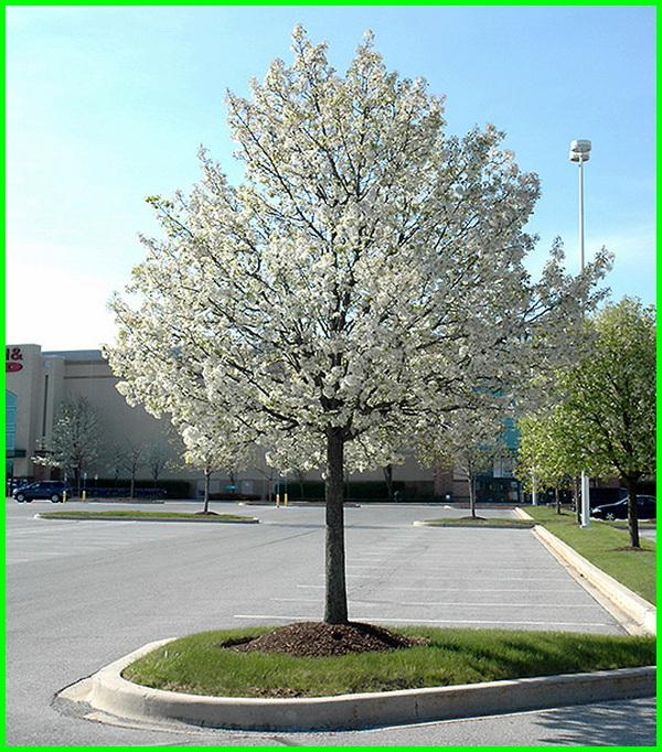 pohon peneduh untuk taman kecil, pohon hias untuk taman kecil, pohon yang cocok untuk taman kecil, tanaman untuk taman kecil depan rumah, tanaman untuk taman kecil minimalis, pohon untuk taman kecil