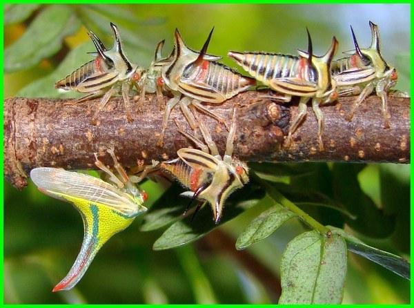 beberapa ekor serangga yang aneh, 5 jenis serangga aneh, serangga aneh di dunia, serangga dengan bentuk aneh, jenis serangga aneh, serangga paling aneh, serangga serangga aneh