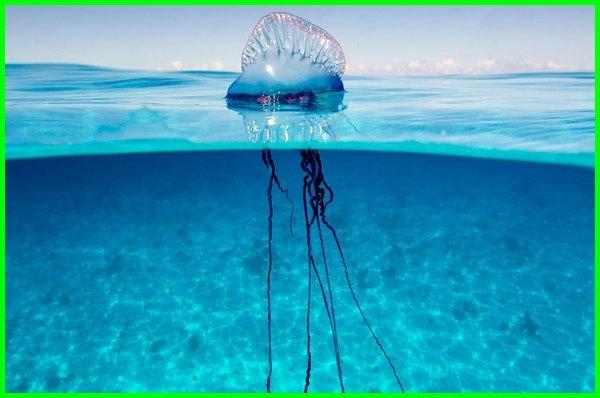 ubur ubur biru beracun, ubur ubur paling beracun di dunia, gambar ubur ubur beracun, ubur ubur paling beracun, macam macam ubur-ubur beracun