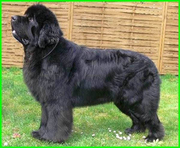 cara agar bulu anjing lebat dan panjang, makanan agar bulu anjing lebat, cara agar bulu anjing lebat dan sehat, vitamin agar bulu anjing lebat