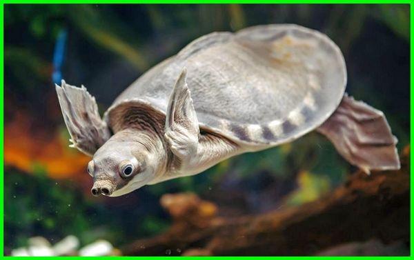 kura kura unik di dunia, jual kura kura unik, jenis kura kura unik, kura kura air unik, kura-kura yang unik, fakta unik kura kura, nama unik kura kura, kura kura paling unik, kura kura unik di indonesia