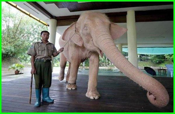 lambang hewan negara myanmar, hewan khas myanmar, hewan endemik myanmar, nama hewan myanmar, lambang hewan myanmar hewan khas dari myanmar, hewan nasional myanmar, hewan negara myanmar, hewan yang dilindungi negara myanmar