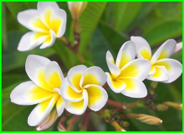 bunga nasional dan simbol resmi dari negara laos adalah, bunga nasional laos, bunga nasional negara laos adalah, nama bunga nasional laos, kamboja bunga nasional laos