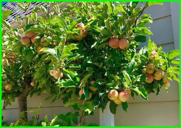 pohon buah untuk taman kecil, pohon untuk mempercantik taman, pohon rindang untuk taman minimalis, pohon taman minimalis, pohon utk taman
