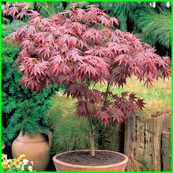 pohon peneduh untuk taman kecil, pohon hias untuk taman kecil, tanaman untuk taman kecil depan rumah, tanaman untuk taman kecil minimalis, pohon untuk taman kecil