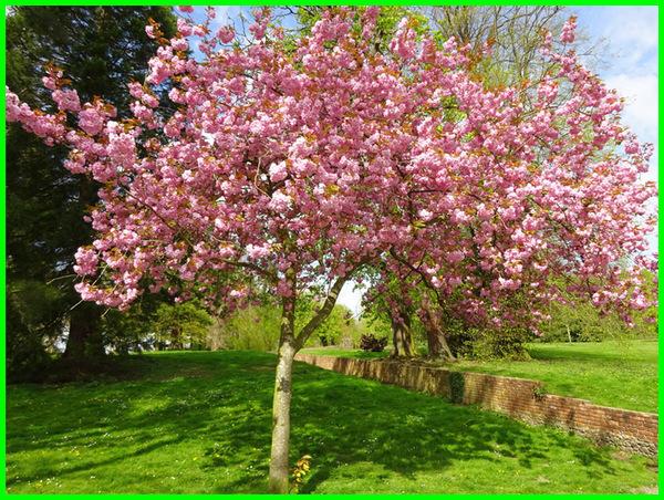 Pohon sakura jepang kecil, pohon peneduh untuk taman kecil,pohon buah untuk taman kecil, pohon hias untuk taman kecil, pohon yang cocok untuk taman kecil, tanaman untuk taman kecil depan rumah, taman kecil dengan pohon kamboja