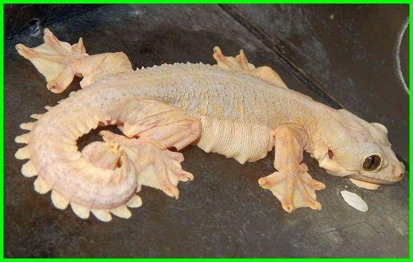 reptil unik untuk dipelihara, reptil paling unik, fakta unik reptil, reptil peliharaan unik, hewan reptil yang unik