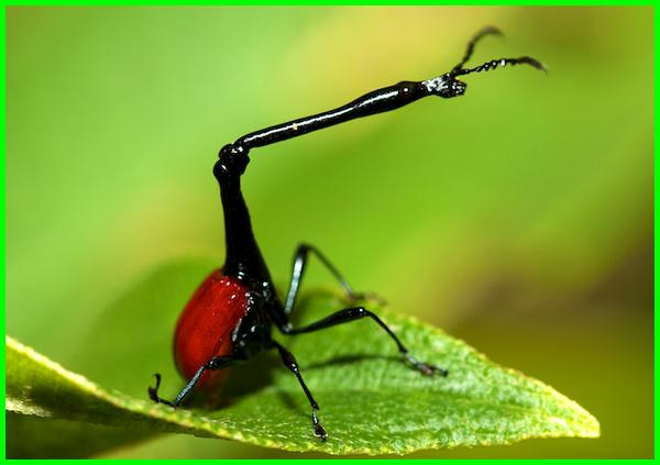 serangga aneh di dunia, serangga dengan bentuk aneh, jenis serangga aneh, serangga paling aneh, serangga serangga aneh
