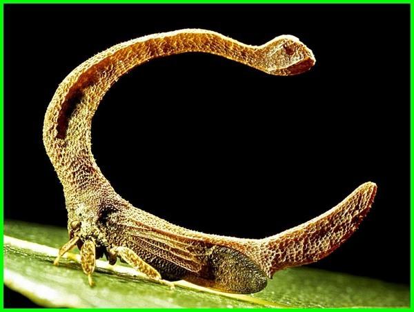 serangga unik & langka, serangga paling unik, fakta unik serangga, serangga unik di dunia, nama serangga unik, serangga yang unik