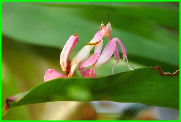 belalang anggrek, belalang sembah menyerupai bunga anggrek, congcorang unik cantik, belalang sembah yang warnanya bagus pink