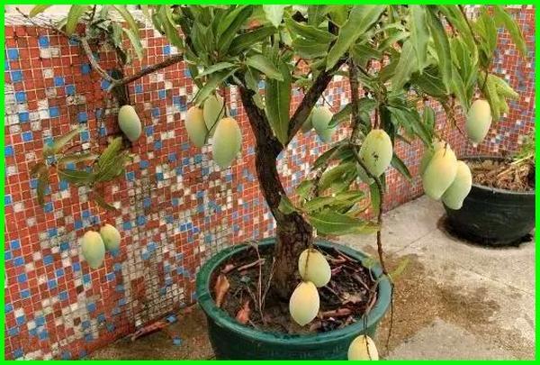 tanaman buah halaman rumah, tanaman buah untuk halaman kecil, tanaman buah untuk halaman, tanaman buah di halaman kecil, tanam buah di halaman, tanaman buah buahan di halaman rumah, tanaman buah untuk di halaman rumah, tanaman buah cocok di halaman, tanaman buah yang bagus untuk halaman rumah
